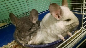 boarding - chinchillas