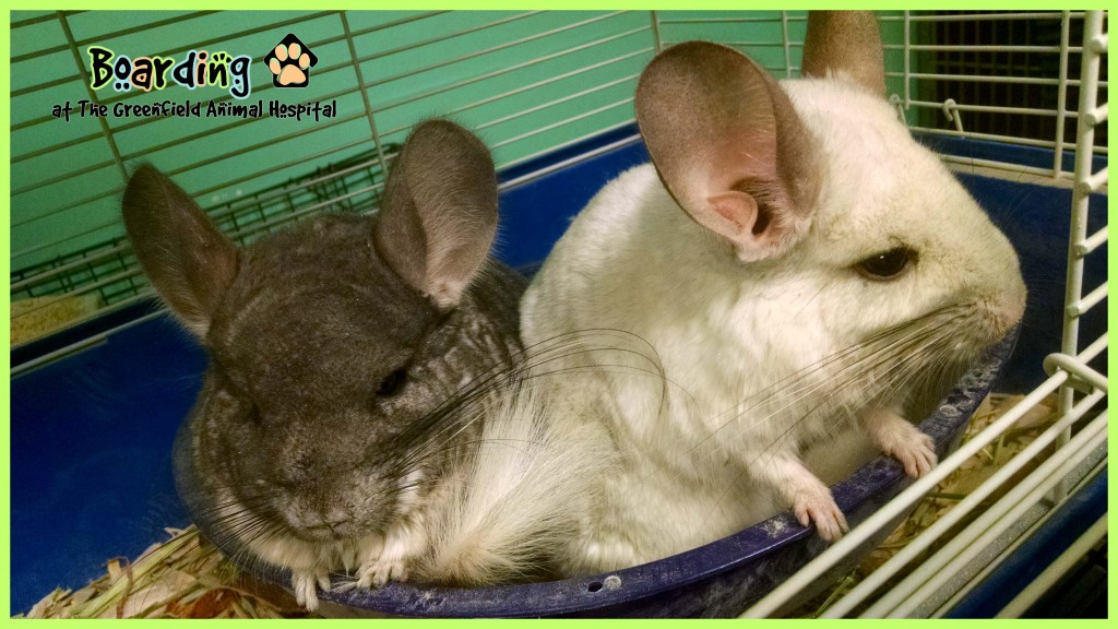 boarding chinchillas w logo